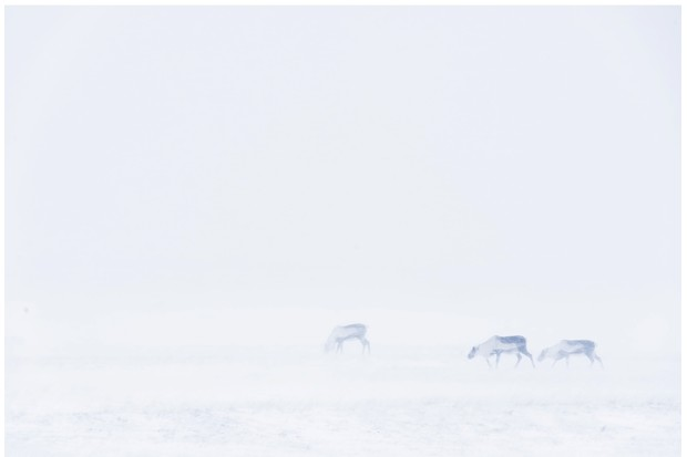 Reindeer_blizzard_GettyImages-a0bf7ef