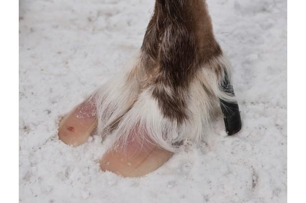 Reindeer_hoof_GettyImages-594436c