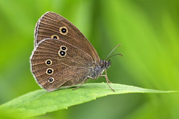 (GERMANY OUT) ringlet sitting on a leaf - butterfly (Aphantopus hyperanthus) (Photo by Cuveland/ullstein bild via Getty Images)