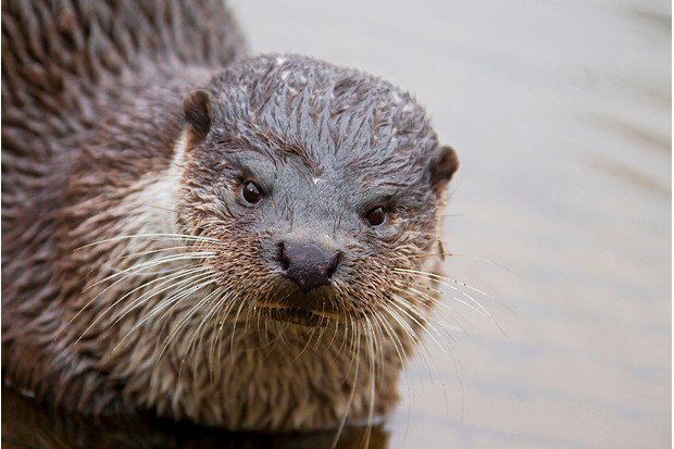 Europese otter (Lutra lutra) European river otter (Lutra lutra) close up