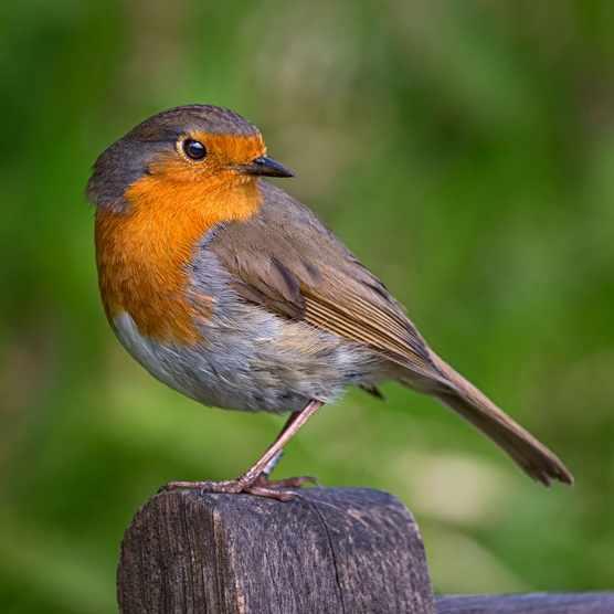 Robin-a01e64c