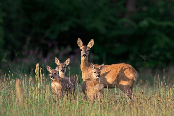European roe deer (Capreolus capreolus) female with three fawns in grassland at forest's edge in summer. (Photo by: Arterra/UIG via Getty Images)
