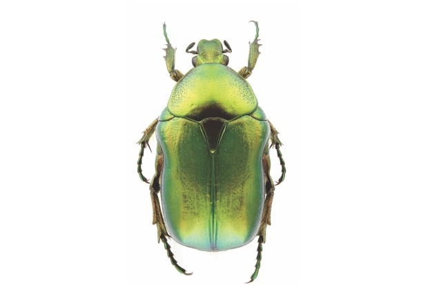 Cetonia aurata (rose chafer) isolated on a white background.