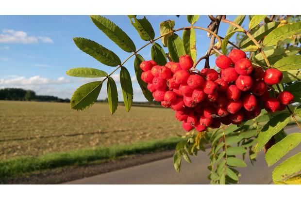 Rowan-berries_0-f31f826