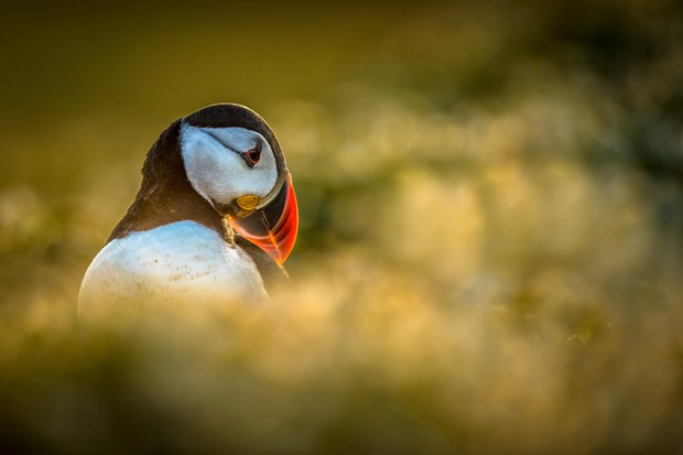 SEPT20-Posing Puffin by Philip Male ©Philip Male