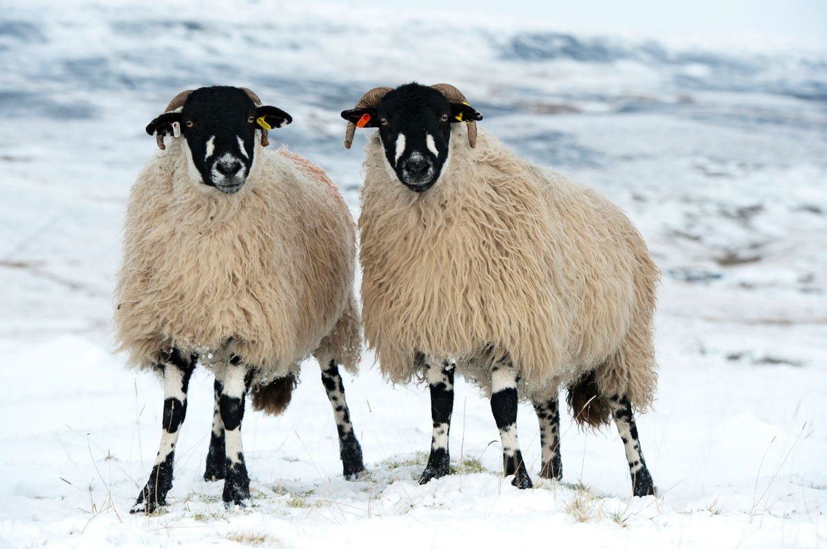 SHEEPgetty-f25001a