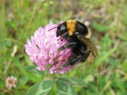 Short-haired bumblebee Bombus subterraneus, close up of individual foraging on a flower