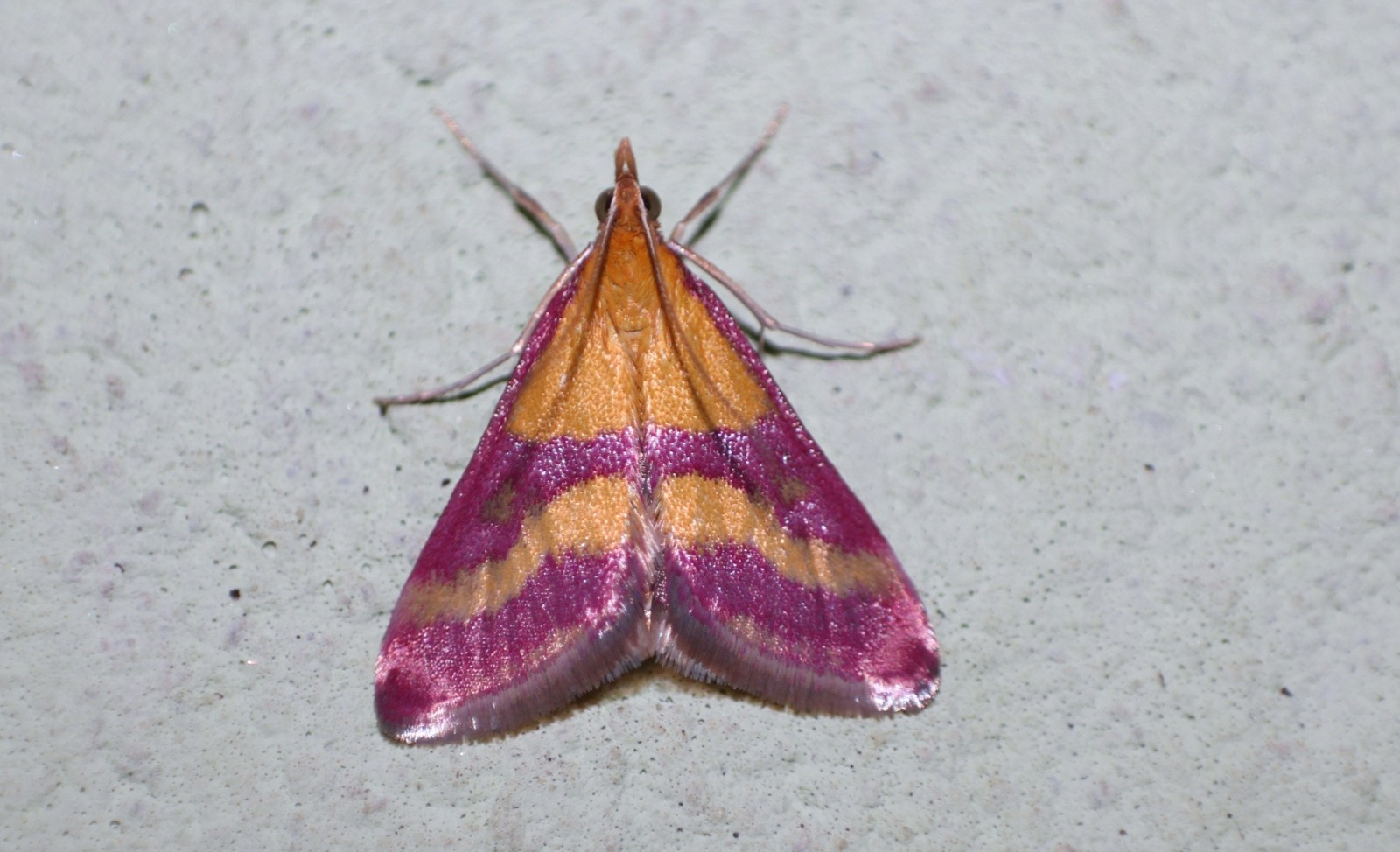 Scarce-Crimson-and-Gold-Pyrausta-sanguinalis_Marcell-Kárpáti-Buttterfly-Conservation-0dcff02