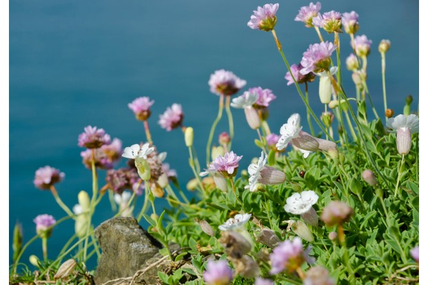 Sea pinks and sea campion