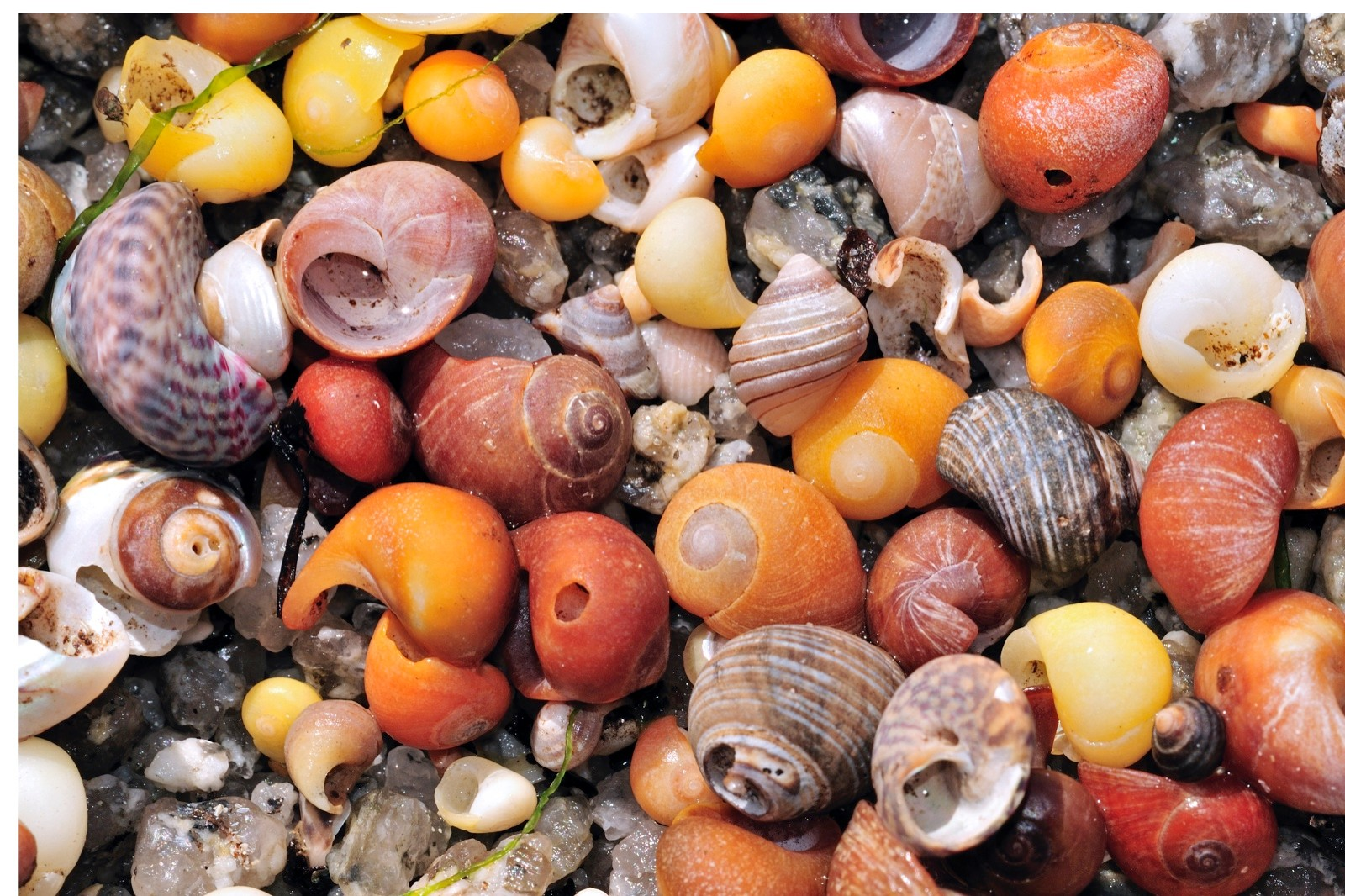 Sea snail shells on beach, Brittany, France