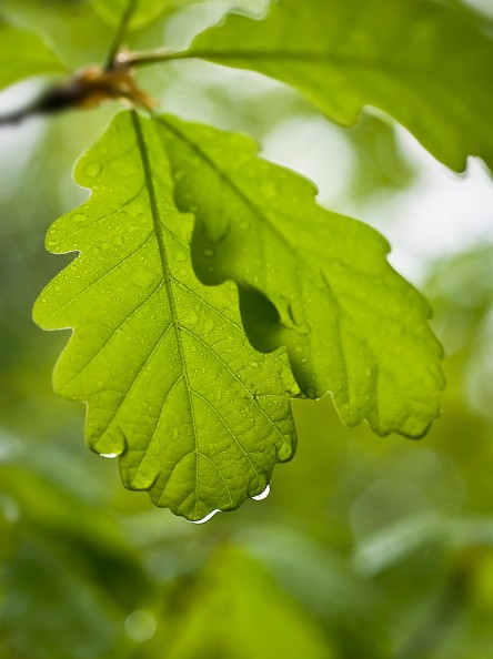 Sessile oak, Quercus petraea. (Photo by FlowerPhotos/UIG via Getty Images)
