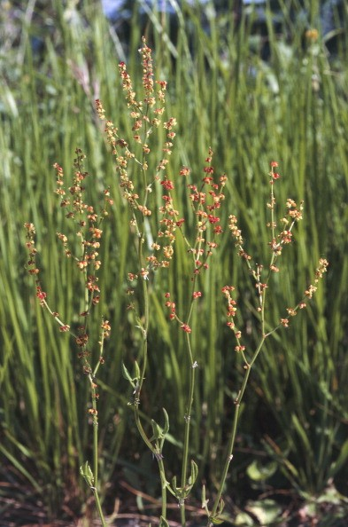 UNSPECIFIED - MARCH 03: Sheep's sorrel, Red sorrel or Sour weed in bloom (Rumex acetosella), Polygonaceae. (Photo by DeAgostini/Getty Images)