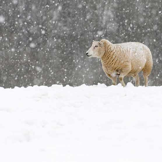 Sheep20in20winter-09d0edf