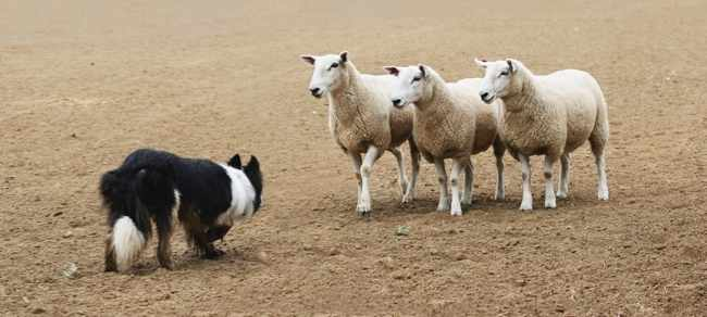 A sheepdog working a few sheep in a dirt field.