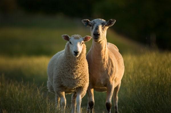 Sheepmain-386b943