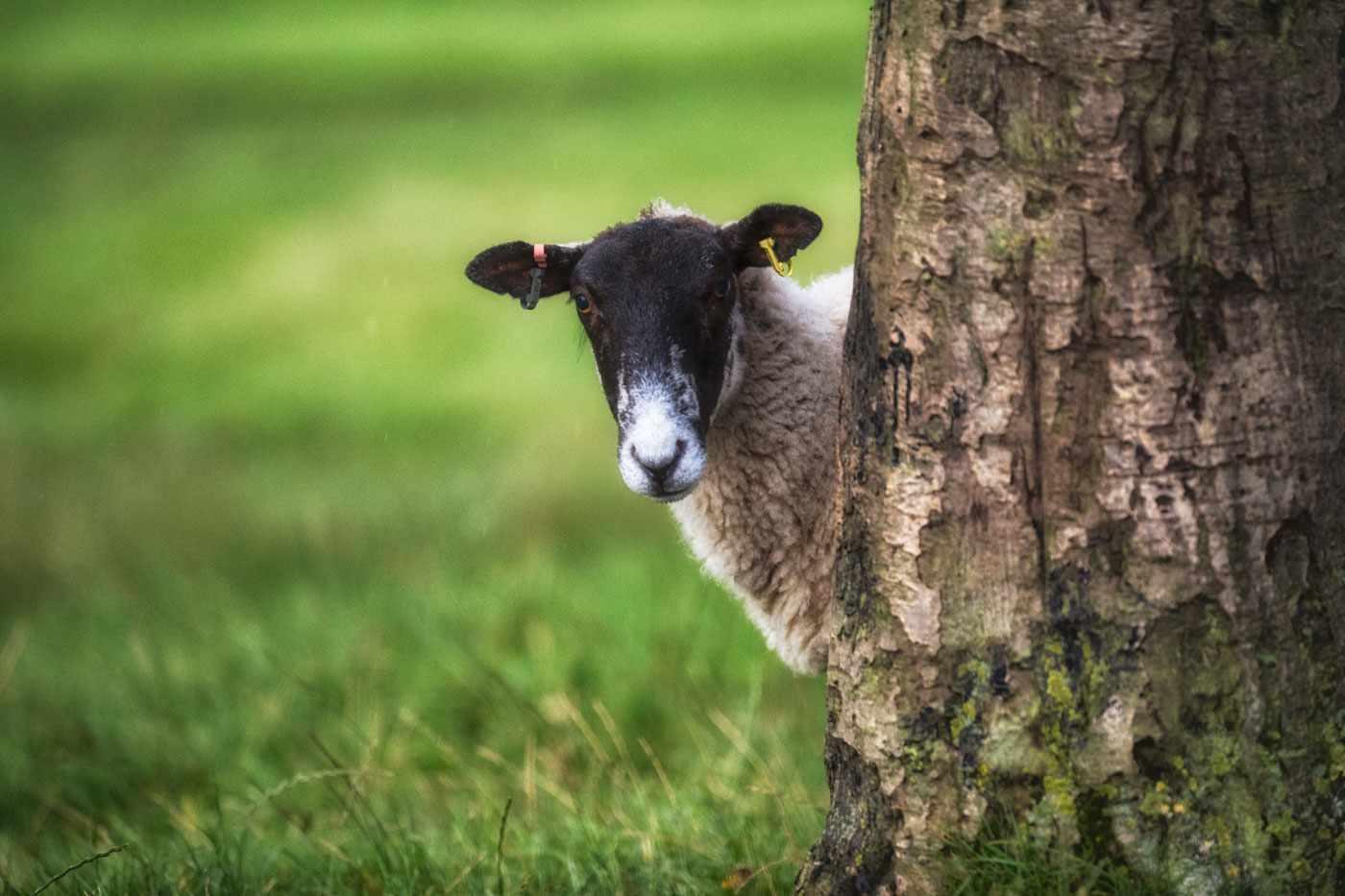 Sheeppeeping-c814369