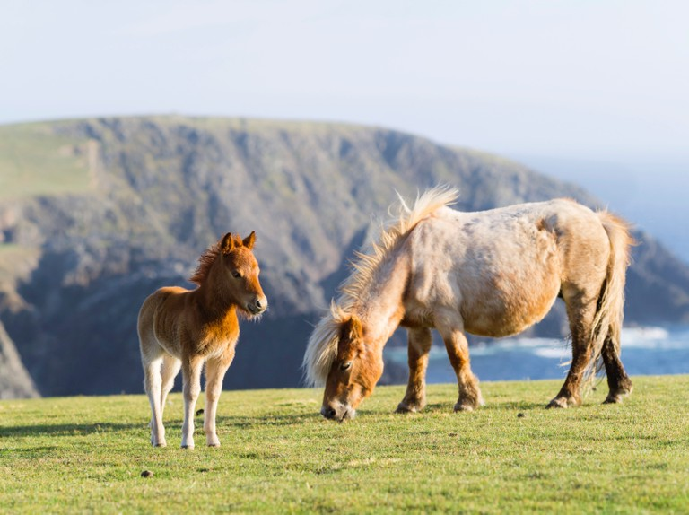 Guide to Britain's native pony breeds