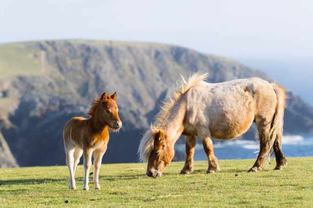 Shetland Pony on pasture near high cliffs on the Shetland Islands in Scotland. Mare with foal. europe, central europe, northern europe, united kingdom, great britain, scotland, northern isles,shetland islands, May