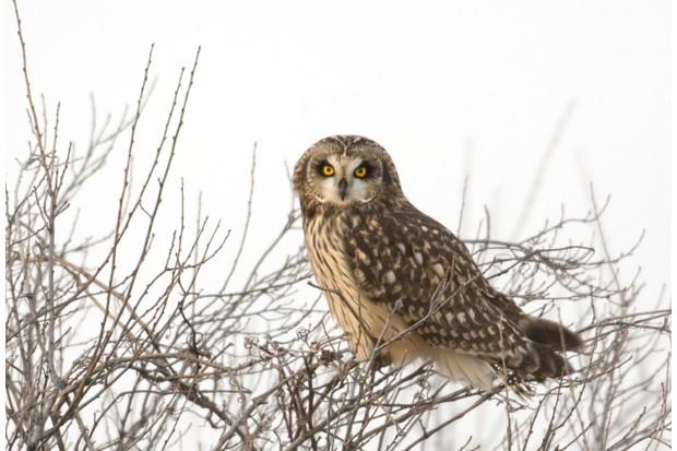 Short-eared owl perched in a tree in an open meadow in winter