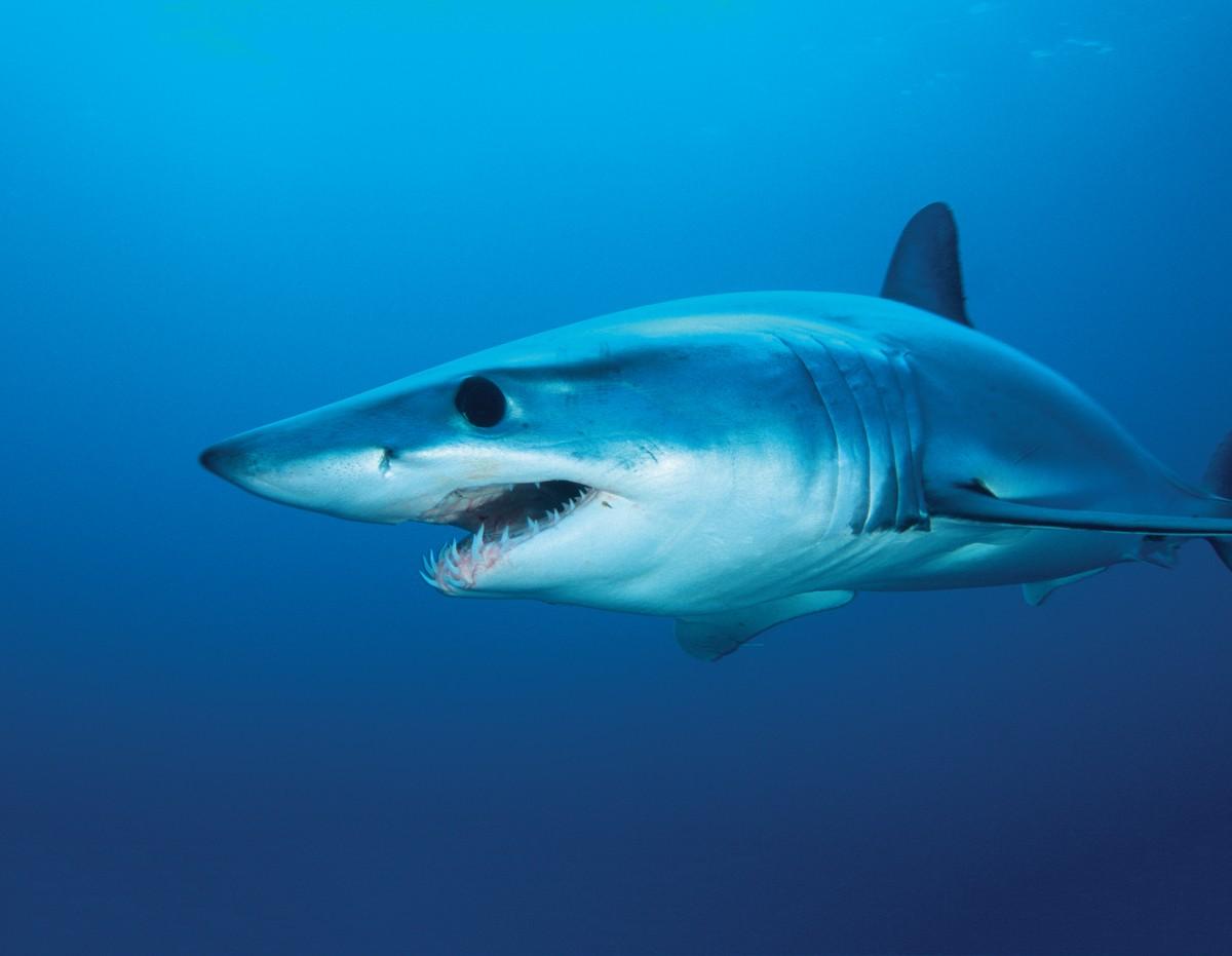 Shortfin_mako_shark_Britains_waters-b1edebd