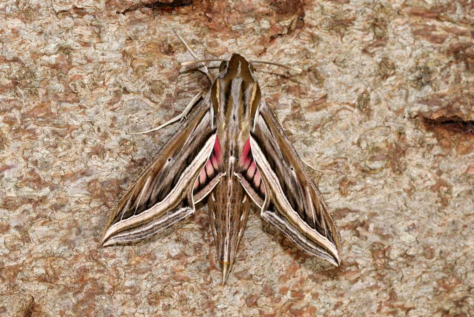 Silver-striped-Hawk-moth_Roger-Wasley-64249f5