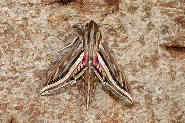 Silver-striped-Hawk-moth_Roger-Wasley-64249f5