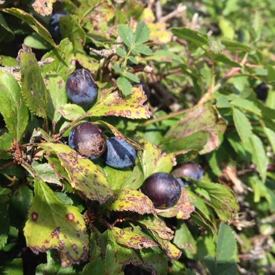 Sloes on a shrub