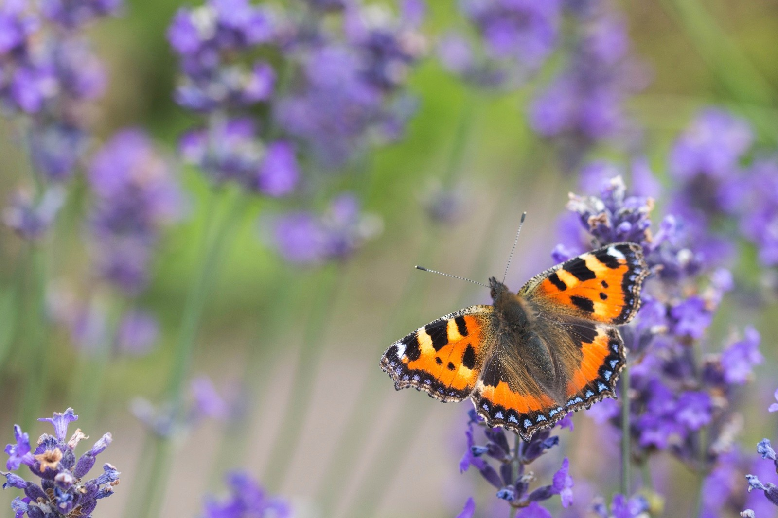 Small-Tortoiseshell_Christopher-Mills-Butterfly-Conservation-8d2cc39