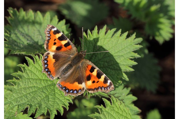 Small-Tortoiseshell_Mark-Searle2C-Butterfly-Conservation-6c8e1b2