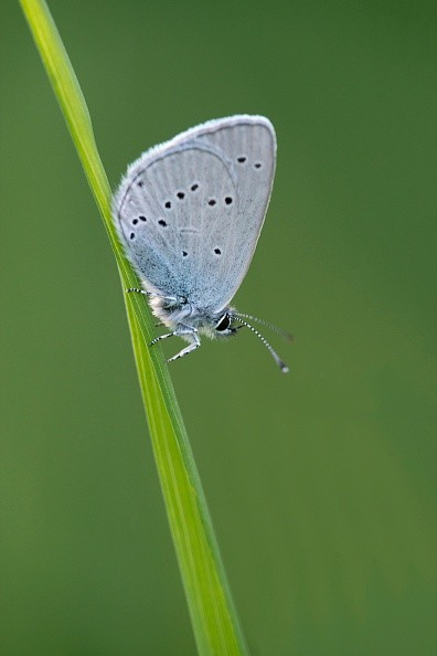 A small blue butterfly at Martin Down in Hampshire, Martin Down, England. (Photo by: Loop Images/UIG via Getty Images)
