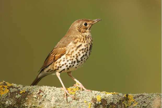 Song-thrush-013ee1f