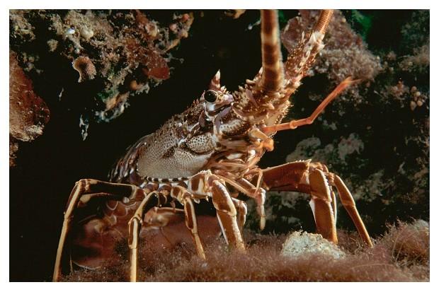 Scandola Nature Reserve, Corsica, spiny lobster (palinurus elephas vulgaris). Réserve naturelle de Scandola, Corse, langouste (palinurus elephas vulgaris). (Photo by Xavier DESMIER /Gamma-Rapho via Getty Images)