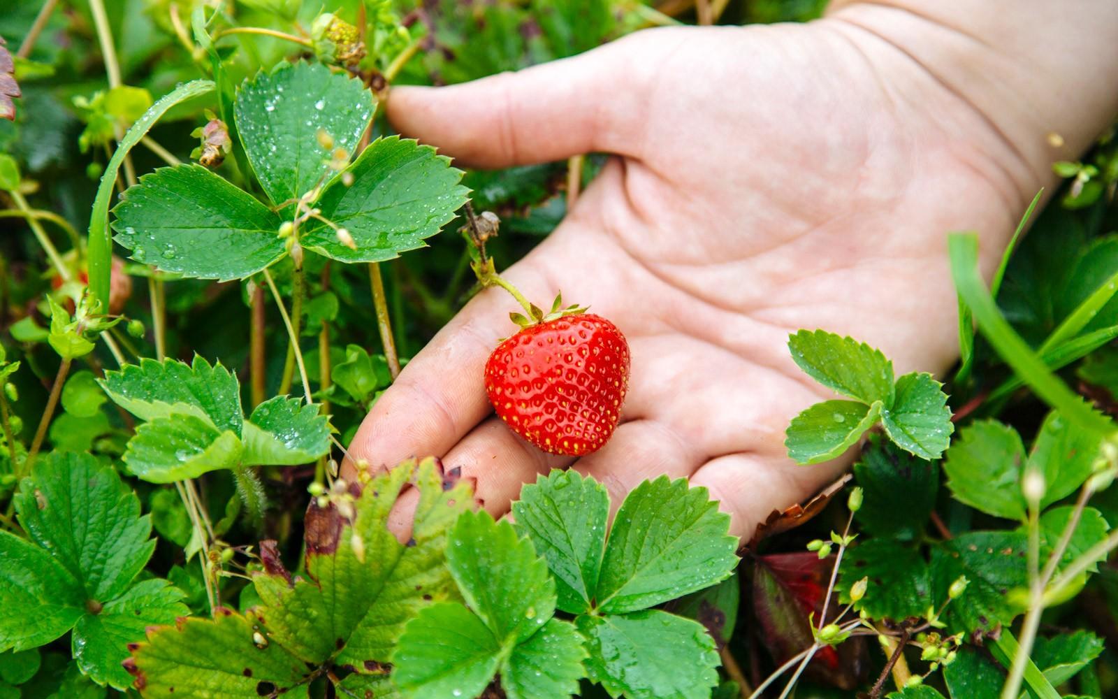 Strawberry-855416942-267a88a