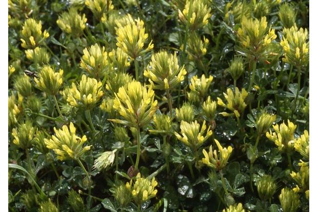 Sulphur-clover-28c29-Andrew-Gagg-Plantlife-4322381