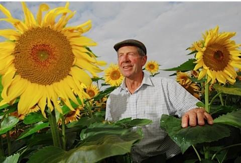Sunflowers1_m-7f23bf1