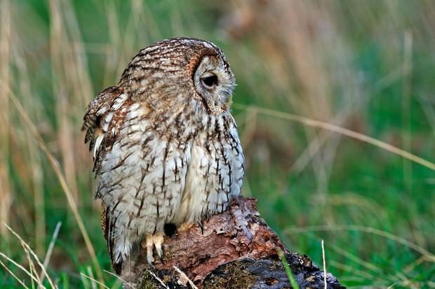 Tawnt-owl-097b113