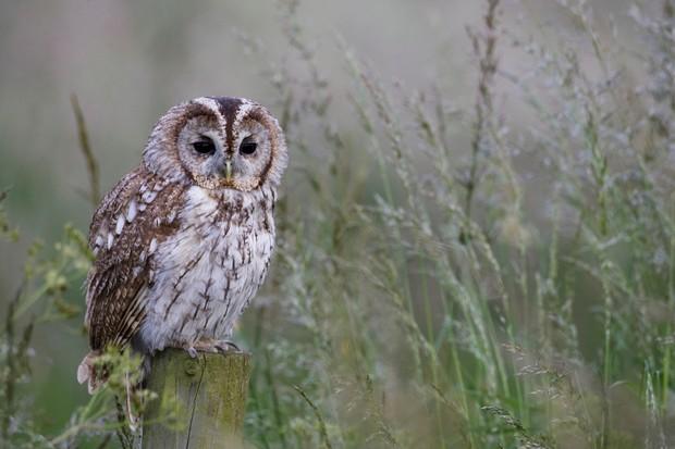Tawny owl dusk
