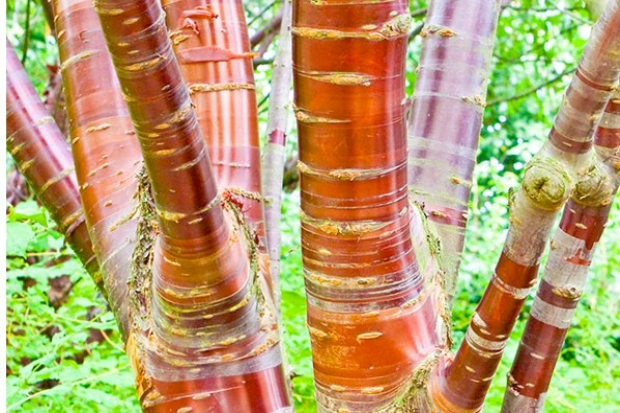 Tibetan_cherry_Prunus_Serrula_from_Crocus2-b6c3b18