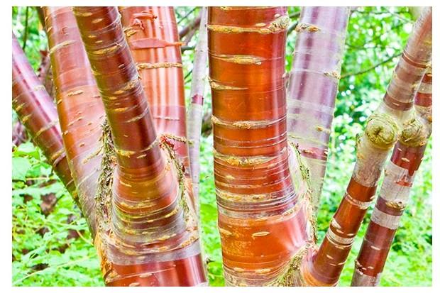 Tibetan cherry (Prunus serrula)