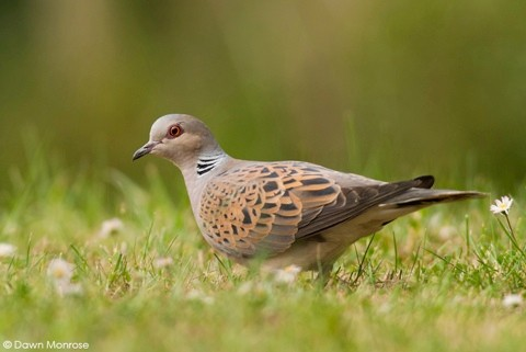 Turtle dove, Streptopelia turtur, foraging on garden lawn, May, Norfolk, UK