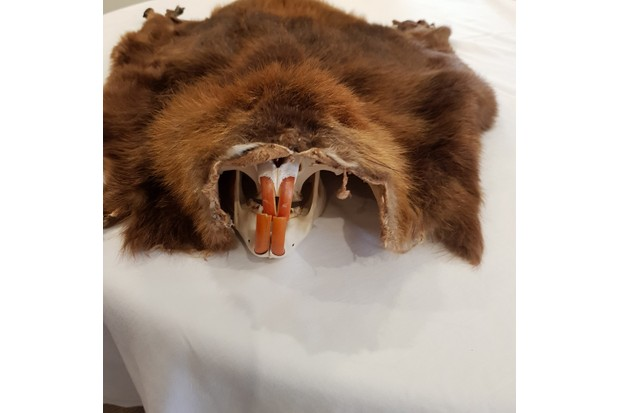 Beaver skin fur pelt and skull beaver teeth