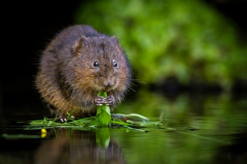 Photo of a Water Vole (Arvicola terrestris) feeding, Kent, England, UK