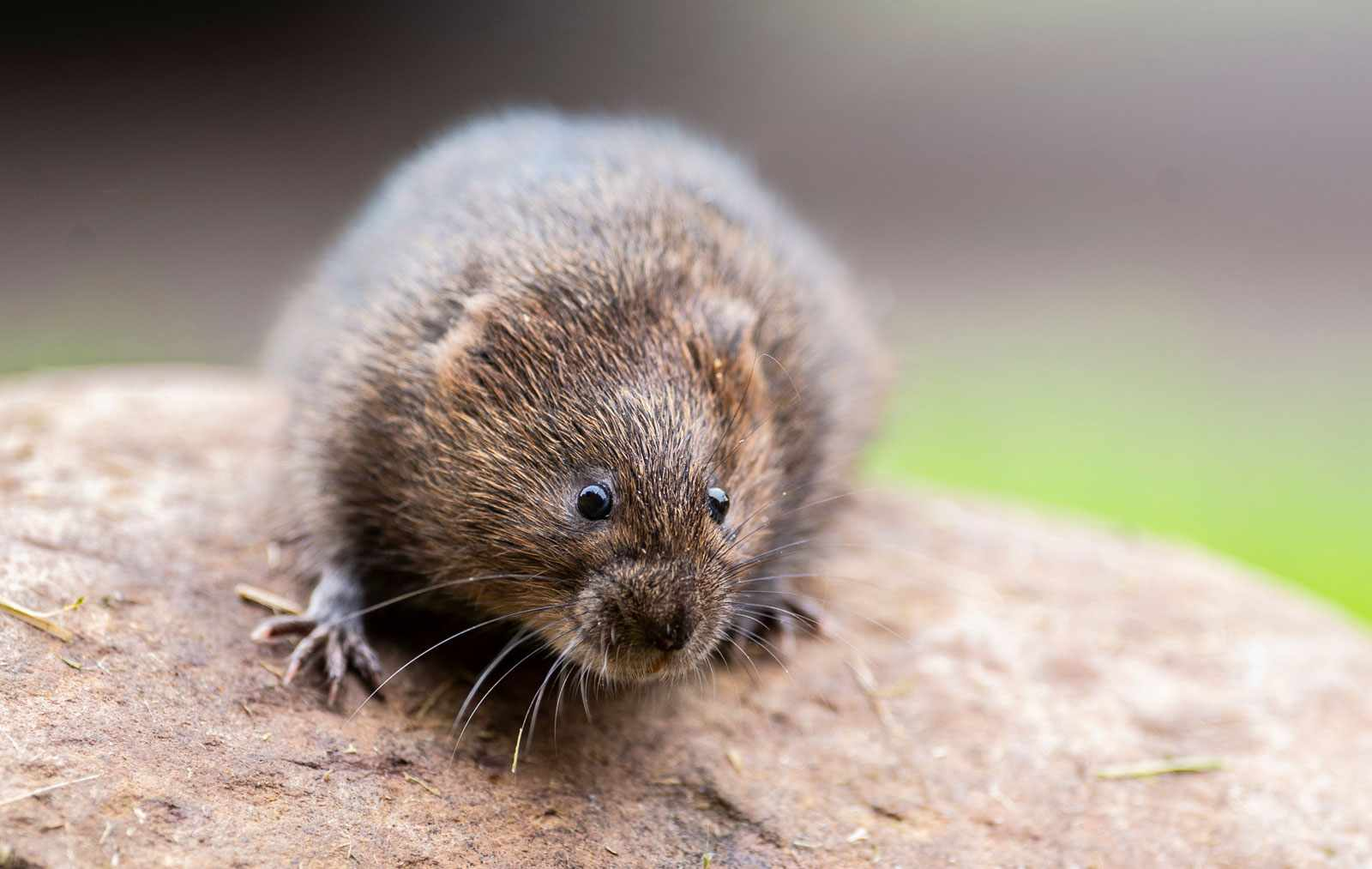 Water-vole©National-Trust-Images-Steve-Haywood-854a0bb