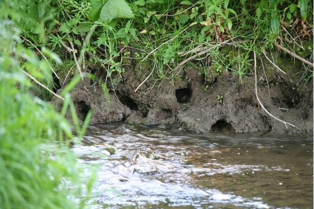 Water-vole-burrows-Credit-E-Thomas-bb85507
