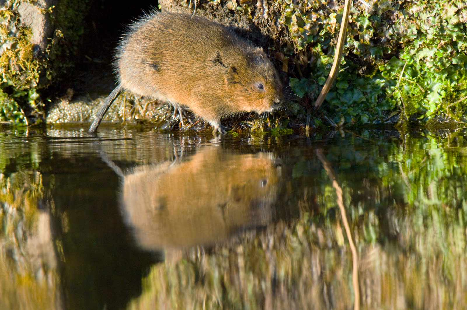 Water vole on a riverbank