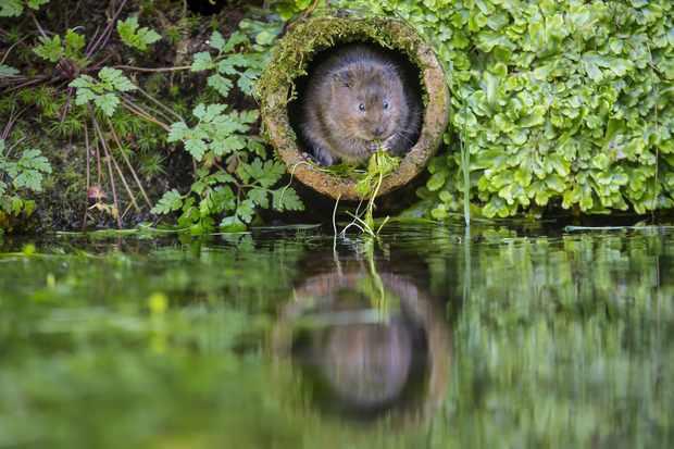 WaterWater Vole (Arvicola terrestris)
