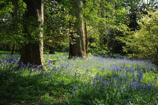 Bluebells at Silk Wood in Westonbirt
