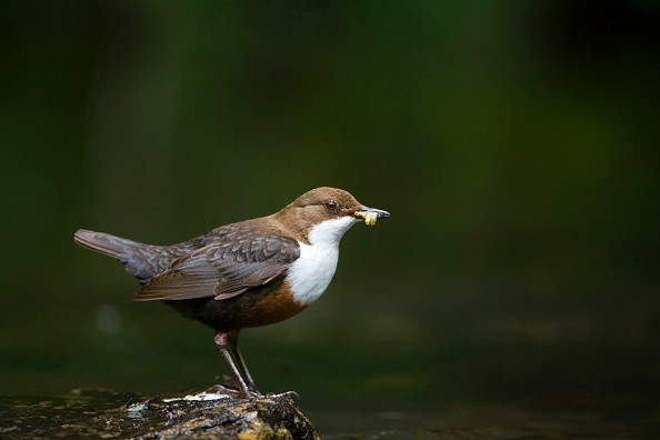 A dipper hunting on the water. (Photo by: Loop Images/UIG via Getty Images)