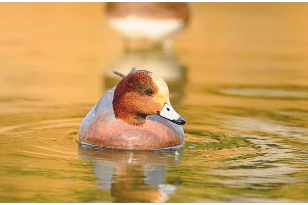 Wigeon ©Getty