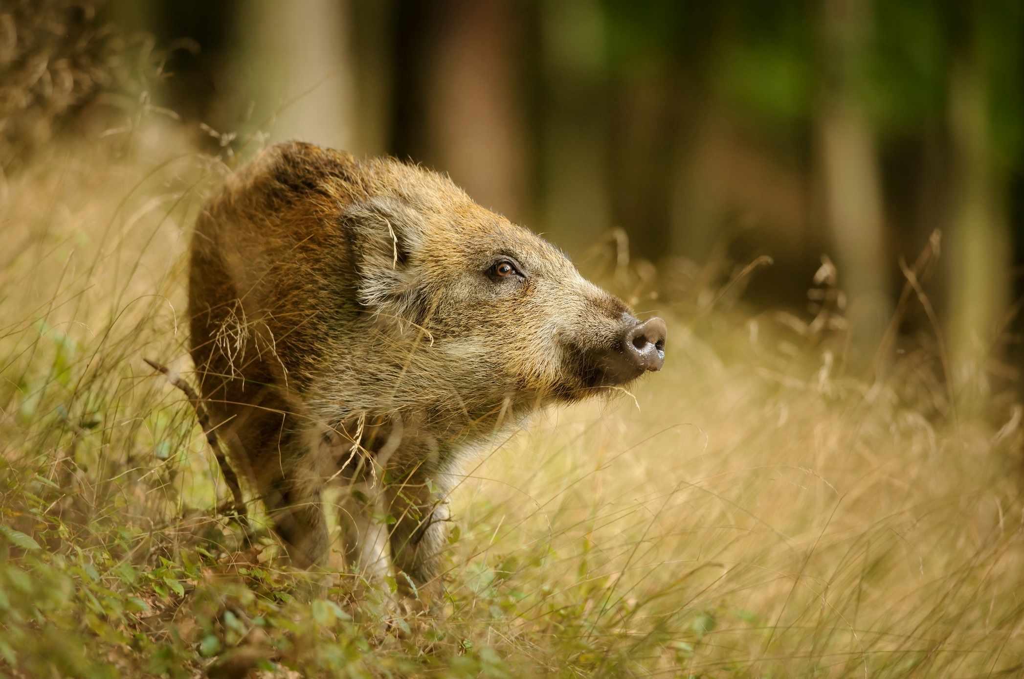 Wild-boar-82e0849